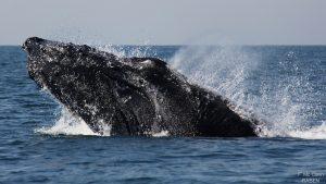 ecobac-ecologia-y-conservacion-de-ballenas-puerto-vallarta-07