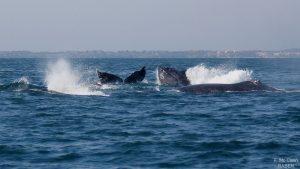 ecobac-ecologia-y-conservacion-de-ballenas-puerto-vallarta-08
