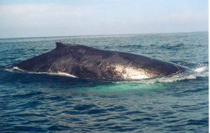 ecobac-ecologia-y-conservacion-de-ballenas-puerto-vallarta-galeria-02