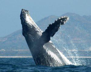 ecobac-ecologia-y-conservacion-de-ballenas-puerto-vallarta-galeria-03