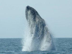 ecobac-ecologia-y-conservacion-de-ballenas-puerto-vallarta-galeria-05