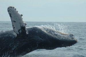 ecobac-ecologia-y-conservacion-de-ballenas-puerto-vallarta-galeria-06