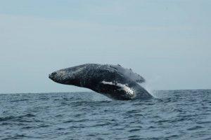 ecobac-ecologia-y-conservacion-de-ballenas-puerto-vallarta-galeria-07