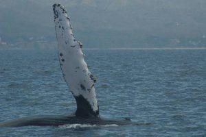 ecobac-ecologia-y-conservacion-de-ballenas-puerto-vallarta-galeria-09