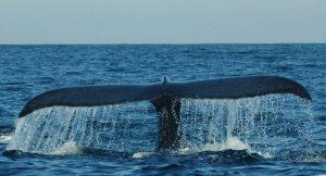 ecobac-ecologia-y-conservacion-de-ballenas-puerto-vallarta-galeria-10