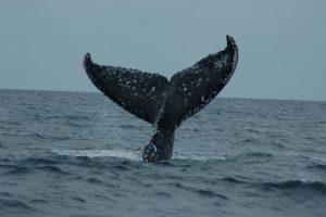 ecobac-ecologia-y-conservacion-de-ballenas-puerto-vallarta-galeria-13