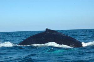 ecobac-ecologia-y-conservacion-de-ballenas-puerto-vallarta-galeria-15