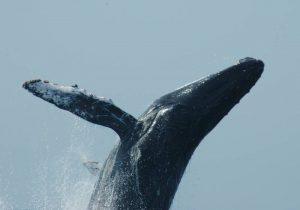 ecobac-ecologia-y-conservacion-de-ballenas-puerto-vallarta-galeria-16