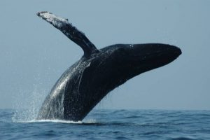 ecobac-ecologia-y-conservacion-de-ballenas-puerto-vallarta-galeria-17