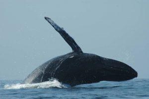 ecobac-ecologia-y-conservacion-de-ballenas-puerto-vallarta-galeria-18