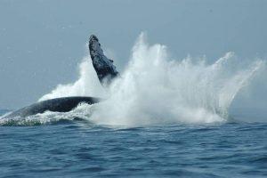 ecobac-ecologia-y-conservacion-de-ballenas-puerto-vallarta-galeria-19