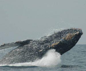 ecobac-ecologia-y-conservacion-de-ballenas-puerto-vallarta-galeria-20