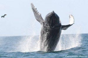 ecobac-ecologia-y-conservacion-de-ballenas-puerto-vallarta-galeria-26