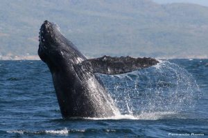 ecobac-ecologia-y-conservacion-de-ballenas-puerto-vallarta-galeria-30