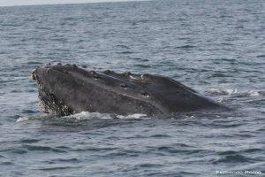 ecobac-ecologia-y-conservacion-de-ballenas-puerto-vallarta-galeria-31