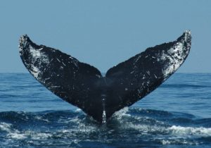 ecobac-ecologia-y-conservacion-de-ballenas-puerto-vallarta-galeria-32