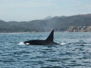 ecobac-ecologia-y-conservacion-de-ballenas-puerto-vallarta-galeria-46