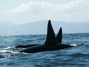 ecobac-ecologia-y-conservacion-de-ballenas-puerto-vallarta-galeria-48
